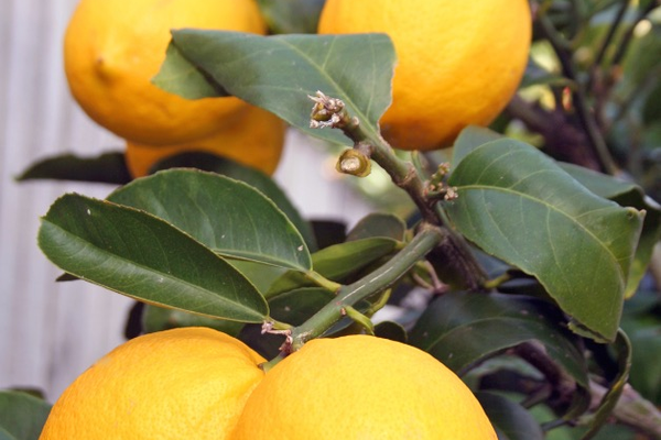 Meyer Lemon Tree, $34.99 at El Dorado Nursery and Garden, 3931-C Durock Road, Shingle Springs. 530-676-6555, eldoradonursery.com