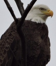 The third bald eagle sighting on Dec 15