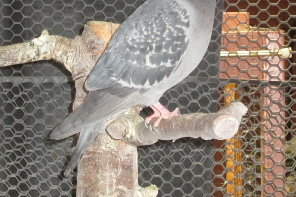 A rescued pigeon in one of the large cages.