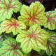 Thumb_heuchera_electric_lime
