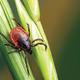 Spread of Ticks Means Greater Chance of Contracting Lyme Disease - Jun 30 2015 0945PM
