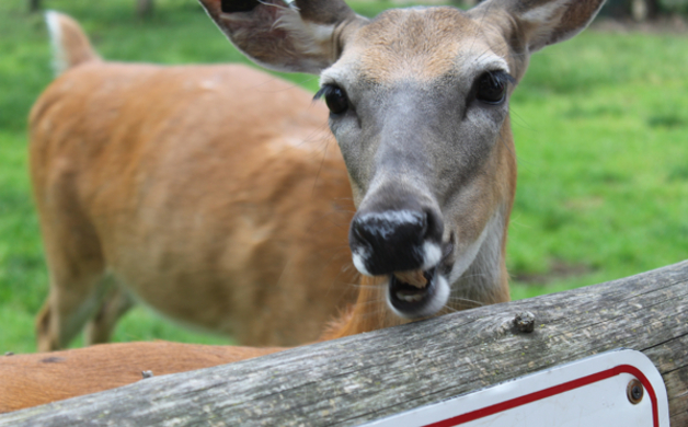 Deer Eating Melba Toast