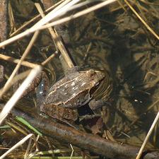 Medium froggy