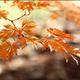Thumb gretchen japanese maple 300x239