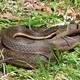Thumb snake