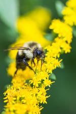 Medium pollinator 20on 20solidago 20small