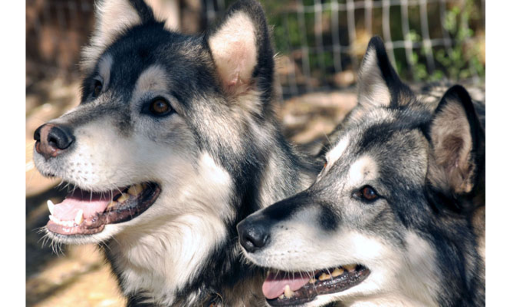When Owners Give Up Wolf Rescue Group Steps In Around 505