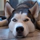 Siberian Husky Echo doesn't let a little visit to the vet bother him.