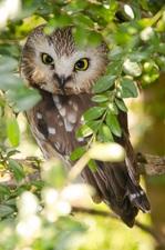 Medium owl 20howl 20small