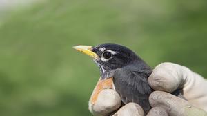 Medium 5 robin
