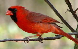 Medium cardinal  20public 20domain