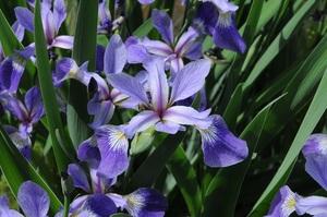 Medium iris 20versicolor 202 20small