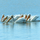 White pelicans are a familiar sight during summer months at Stagecoach Lake Photo by Douglas Wipper