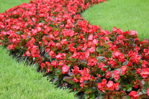 Bodacious Begonias Nationally-recognized Collection at the Fort Worth Botanic Garden - Mar 21 2016 0123PM