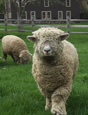Medium sheep