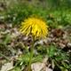 Thumb dandelion