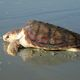 Loggerhead Sea Turtle: This adult female is returning to the ocean after nesting on a Georgia beach. Loggerheads are Georgia's primary nesting sea turtle and federally listed as threatened.