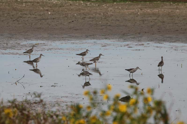 Susquehanna River waterfowl feed on seeds left behind. Photo courtesy of PA Game Commission.