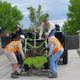 South Jordan Parks Department employees help to unload trees the city donated for Jordan Ridge Elementary students to help plant on their school grounds. — Cathy Anderson