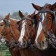 Darin Palmer's four Belgian draft horses wait to practice pulling on their South Jordan farm. –Linnea Lundgren