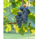 Grapes on the vine at Stonewall Creek Vineyards