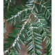 Woolly 20adelgid 20cropped