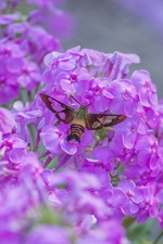Medium phlox 20insect 20smaller