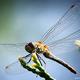 Thumb dragonfly