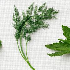 Medium global herbs basic dill 0313