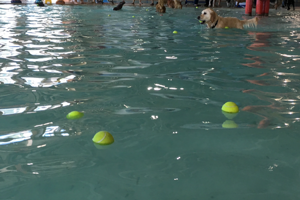 Tennis balls littered the pool at the Family Fitness Center on Sept. 17 as dogs played fetch in the pool at the Dog Days of Summer event. (Travis Barton/City Journals)