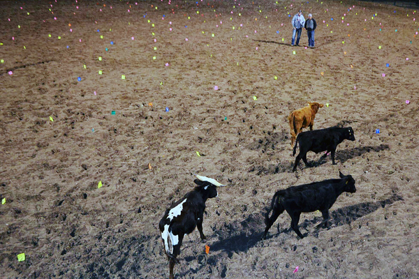 Four cows roamed the W&M Butterfield Rodeo Grounds in Herriman during Herriman High School Drill Team's second annual Cow Pie Jamboree on Sept. 24. (Hillaree Larsen/Herriman High School Drill)