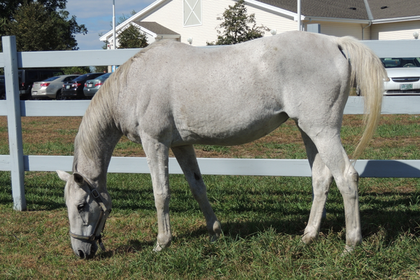Ghost is a companion horse whose adoption fee will be waived from Nov. 15-30 (credit MSPCA-Angell)