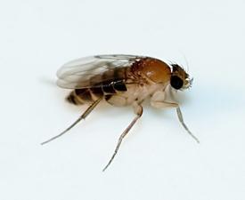 Medium phorid fly