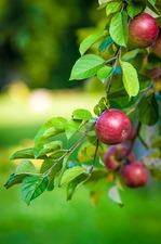 Medium apple 20branch