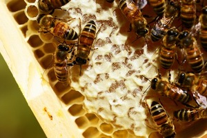 Medium bees 20on 20honeycomb