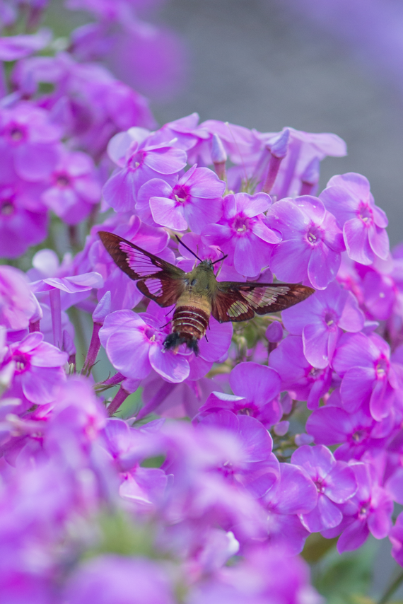 Phlox 20insect