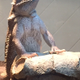BO » Bo is a two-year-old bearded dragon who enjoys pooping in water bowls, worm hunting and eating salad.—Karia Wilson