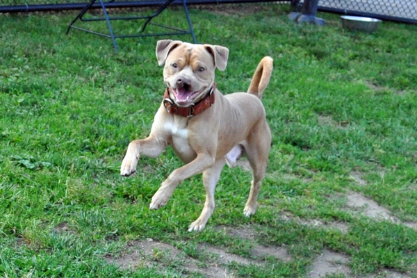 Clefford plays in the yard at the MSPCA. Credit MSPCA-Angell