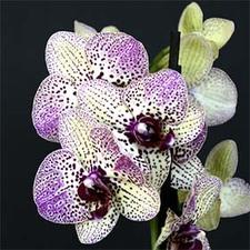 Medium orchid show
