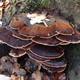 Thumb mushroom
