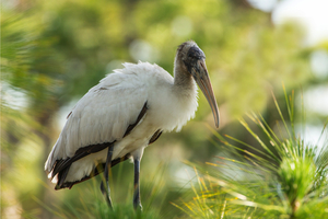 A juvenile wood stork in the Cecil M Webb Wildlife Management Area in Charlotte County Photo by William R Cox