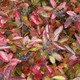 Thumb 8d79edd viburnum 20nudum 20berries 20oct 2023 202009