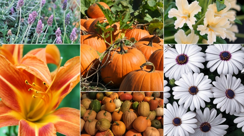 Pumpkin plant sale 2017