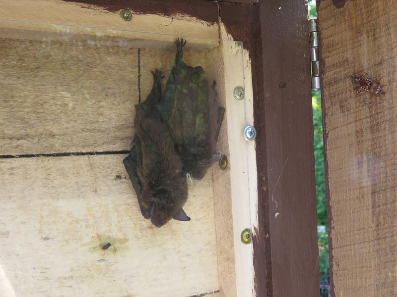 Disease Habitat Destruction Decimating Pennsylvania S Bat Potion