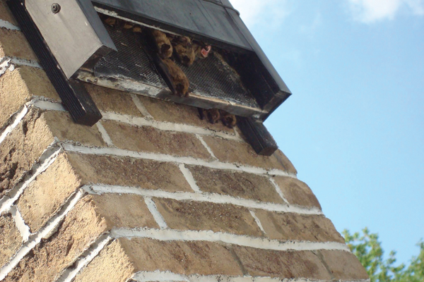 A chimney mounted box with hanging big brown bats