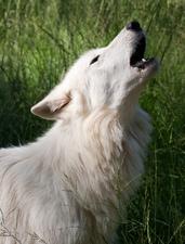 Medium howling white wolf
