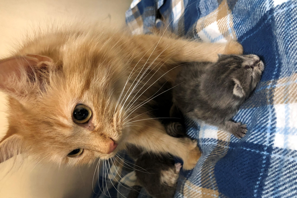 Betty immediately took to the kittens – protecting, grooming, and nursing them. credit MSPCA-Angell