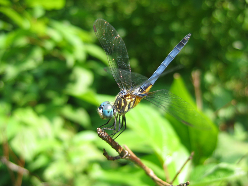 Blue eyed 20darner 20dragonfly 20800 20x 20600