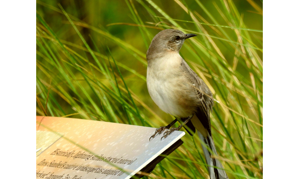 Bird Sounds of Sanibel: Tuning Into the Island's Signature Symphony