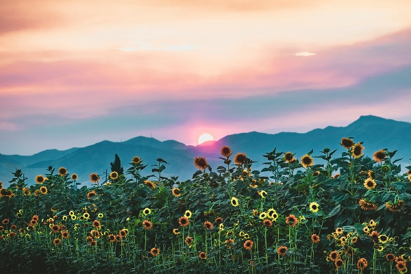 """Sunset Flowers"" took first prize in the live category. (Jacob Shamy)"